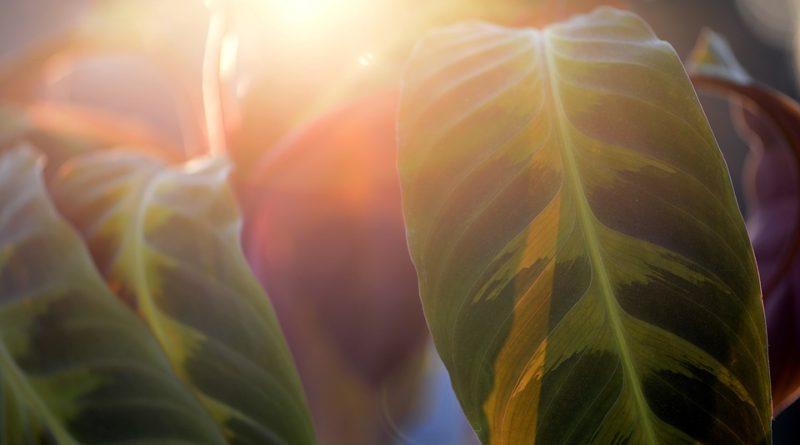 Ako sa starať o rastlinu menom kalatea?