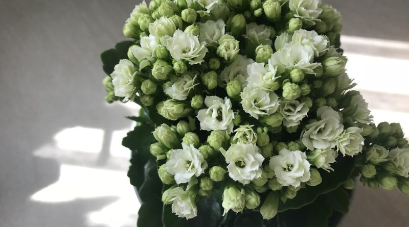 Aké kvitnúce izbové rastliny vydrží aj v paneláku?