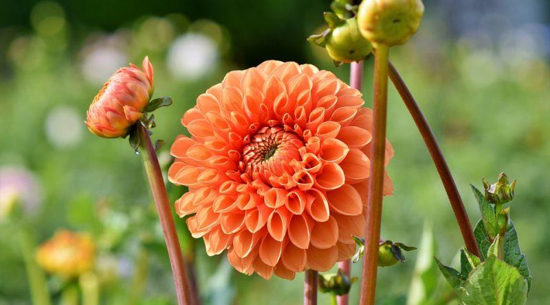 Pestujte georgíny na záhrade aj v kvetináčoch
