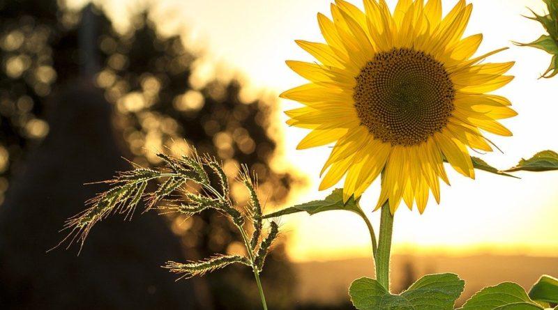 Vypestujte si slnečnicu, kvetinu otáčajúce sa za slnkom