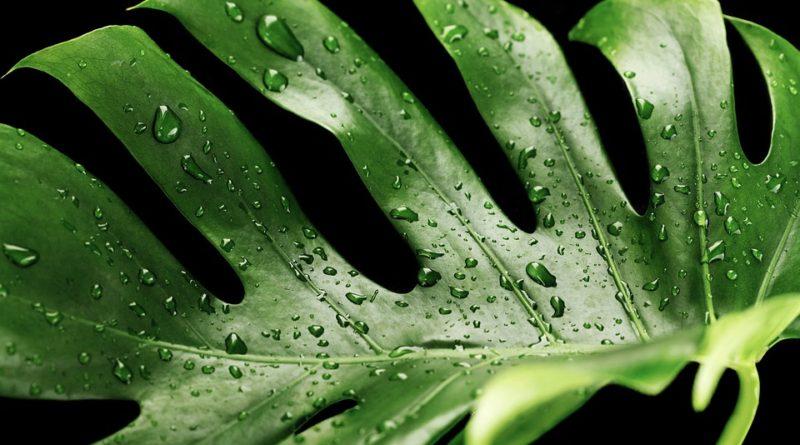 Monstera ako najobľúbenejšie izbová rastlina moderných domácností