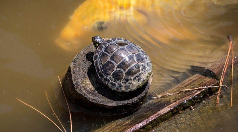 Na čo si dať pozor pri chove korytnačky
